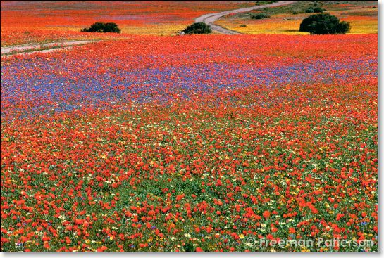 Namaqualand in Bloom - By Freeman Patterson